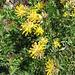 Anthyllis vulneraria subsp. alpestris. Fabaceae.<br /><br />Vulneraria delle Alpi.<br />Anthyllide alpestre.<br />Alpen-Wundklee.