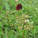 Nigritella rubra. Orchidaceae.<br /><br />Nigritella rossa.<br />Nigritelle rouge.<br />Rotes Männertreu.