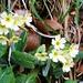 Schlüsselblumen - erste Frühlingsgrüsse am Wegrand