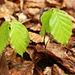 Kleine Buchen (Fagus sylatica).