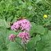 Adenostyles glabra. Asteracea.<br /><br />Cavolaccio verde.<br />Adenostyle glabre.<br />Grüner Alpendost.