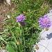 Scabiosa lucida. Caprifoliaceae.<br /><br />Vedovina alpestre.<br />Scabiose luisante.<br />Glänzende Skabiose