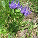 Phyteuma hemisfericum. Campanulaceae.<br /><br />Raponzolo alpino.<br />Raiponce hémisférique.<br />Halbkugelige Rapunzel.