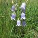 Campanula barbata. Campanulaceae.<br /><br />Campanula barbata.<br />Campanule barbue.<br />Bärtige Glockenblume.