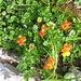 Lotus alpinus. Fabaceae.<br /><br />Ginestrino delle Alpi.<br />Lotier des Alpes.<br />Alpen-Hornklee.