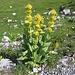 Gentiana lutea. Gentianaceae.<br /><br />Genziana maggiore.<br />Gentiane jaune.<br />Gelber Enzian.