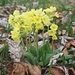 Hohe Schlüsselblume (Primula elatior).