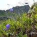 blau leuchten die Glockenblumen aus dem Grün des Heidelbeerlaub