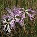 Pracht-Nelke (Dianthus superbus)