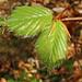 Jeunes feuilles de hêtre