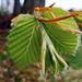 Tendres feuilles de hêtre