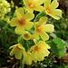 Primula elatior (Primevère élevée)