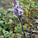 In Gipfelnähe: Violetter Dingel (Limodorum abortivum)