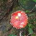 Fiegenpilz (Amanita muscaria var. muscaria)