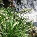 Frühlingsbach und Märzenbecher am Schoberstein im Pranzlgraben