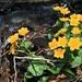 Dotterblumen im Pranzlgraben
