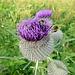 Die Flora im Engadin hat andere Blüten. Wie diese, die aussehen, als seien sie mit ihren knalligpoppigen Igelifrisuren eben erst von der Zürcher Streetparade zurück ins Tal gekommen.