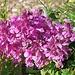 Ein violettes Bleame.