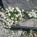 Ein weißes Bleame am Gipfelaufbau der Sulzfluh.