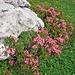 Viele Alpenrosen sorgen für Farbe.