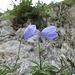 Niedliche Glockenblume (Campanula cochleariifolia)