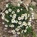Hallers Margerite (Leucanthemum halleri)