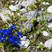 Unterwegs blüht der Bayrische Enzian (Gentiana bavarica)