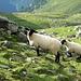 """Die sogenannten """"Schwarzen Schafe"""" unter den Schafen"""