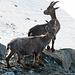 Abendliche, tierische Besucher des Rifugio Guide della Val d'Ayas (3390 m)