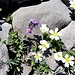 Nur die ganz harten können hier Wurzeln schlagen: Linaria alpina und Cerastium uniflorum als willkommene Farbtupfer