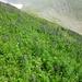 Gaaaanz viel Blauer Eisenhut, Giftpflanze des Jahres 2005 (sowas gibt's??) -- giftig beim Anfassen, Essen, Einatmen...