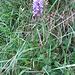 Dactylorhiza maculata. Orchidaceae.<br /><br />Orchide macchiata.<br />Orchis tacheté.<br />Geflecktes Knabenkraut.