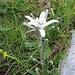 Leontopodium alpinum. Asteraceae.<br /><br />Stella alpina, Edelweiss.<br />Edelweiss.<br />Edelweiss.