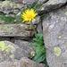 Doronicum clusii. Asteraceae.<br /><br />Doronico del granito.<br />Doronic de Clusius.<br />Clusius' Gämswurz.