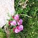 Pedicularis kerneri Dalla Torre Orobanchaceae.  Pedicolare di Kerner. Pèdiculaire de Kerner. Kerners Läusekraut.