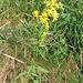Solidago virgaurea. Asteraceae.<br /><br />Verga d'oro comune.<br />Solidage verge d'or.<br />Gewoenliche Goldrute.