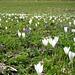 Toll: Krokus-Wiese bei Rauth<br />Vom Winter zurück in den Frühling