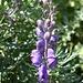 <b>Aconitum napellus.</b>