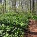 im Wald ist alles mit Bärlauch übersäht....mhhhhhhh!
