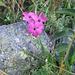 Dianthus carthusianorum. Caryophyllaceae.<br /><br />Garofano dei Certosini.<br />Oillet des Chartreux.<br />Gewoenhliche Kartäuser-Nelke.