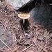 Il primo fungo della stagione.