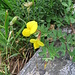 Lotus alpinus. Fabaceae.<br /><br />Ginestrino alpino.<br />Lotier des Alpes.<br />Alpen-Hornklee.