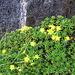 Saxifraga aizodes. Saxifragaceae.<br /><br />Sassifraga cigliata.<br />Saxifrage des ruisseaux.<br />Bach-Steinbrech.