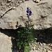 [http://de.wikipedia.org/wiki/Blauer_Eisenhut Blauer Eisenhut] überall, schön aber sehr giftig