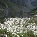 Eriophorum scheuchzeri. Cyperaceae.<br /><br />Pennacchi di Scheuchzer.<br />Linaigrette de Scheuchzer.<br />Scheuchzers Wollgrass.