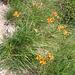 Senecio abrotanifolius. Asteraceae.<br /><br />Senecio abrotanino.<br />Sénecon a feuilles d'aurone.<br />Eberreisblättriges Greiskraut.