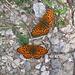 Lungo il sentiero vi erano migliaia di piccole farfalle beige e centinaia di queste, più grandi, arancio, delle Melitaeae Athalia.
