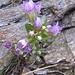Gentiana germanica. Gentianaceae.<br /><br />Genziana germanica.<br />Gentiane d'Allemagne.<br />Deutscher Enzian.