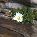 Leucanthemopsis alpina (L.) Asteraceae  Margherita alpina. Marguerite des Alpes. Gewoehnliche Alpenmargerite.