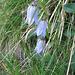 Campanula barbata. Campanulaceae.<br /><br />Campanula barbuta.<br />Campanule barbue.<br />Bärtige Glockenblume.<br />